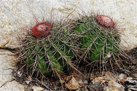 Melocactus Ernestii melocactus ernestii