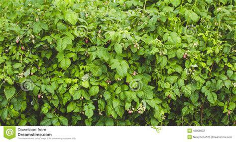 Raspberry Garden by Raspberry Garden Stock Photo Image 48808822