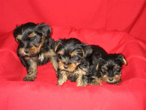 purebred shih tzu puppies for sale nsw for sale purebred teacup yorkies