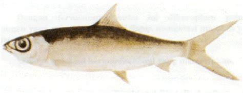 Benih Ikan Bandeng budidaya ikan bandeng 1 konsumenikan s
