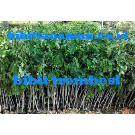 Jual Bibit Cendana India Murah jual bibit tanaman unggul murah di purworejo