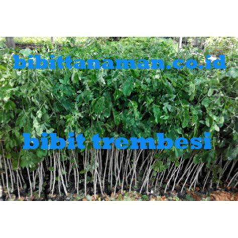 Jual Bibit Bebek Unggul jual bibit tanaman unggul murah di purworejo