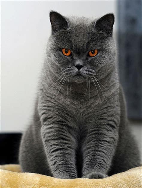 gato pelo corto fotos de brit 193 nico de pelo corto gatos webanimales