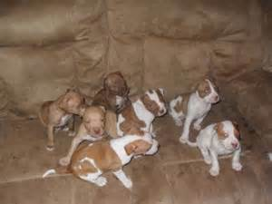 Jeep Pitbulls For Sale Nose Pitbulls Blood Line Jeep Top To Bottom For Sale