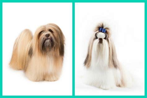 lhasa apso and shih tzu difference shih tzu vs lhasa assistedlivingcares