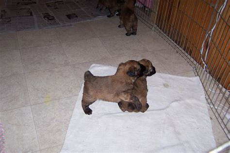 wheaten terrier puppy wheaten terrier puppies pictures