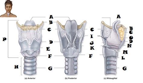 larynx diagram laryngeal cartilages