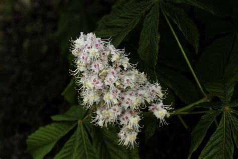 fiori di bach white chestnut white chestnut benessere dal mondo