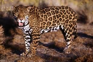 Jaguars Tx Felinos Salvajes Enero 2012