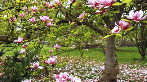 magnolia tree bloom pink flowers 2560x1600 wallpapers13 com