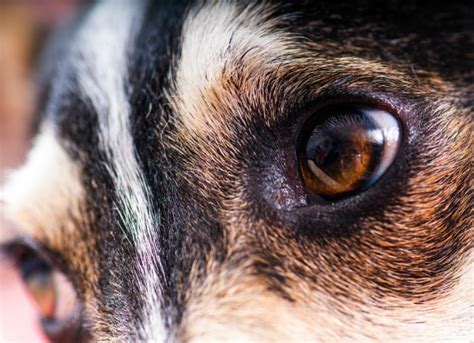 anisocoria in dogs unequal pupil size in dogs petmd