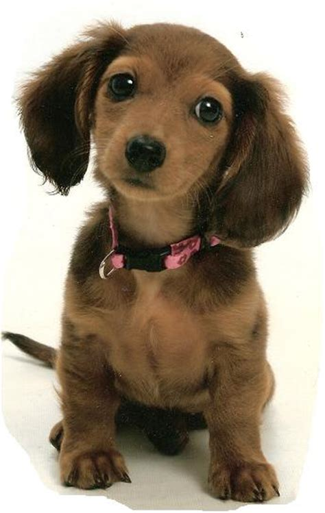 dachshund puppies raleigh nc akc dachshund breeders in nc dogs in our photo