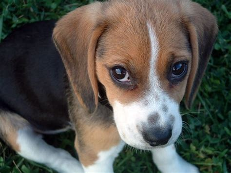 beagle puppy rescue my gorgeous beagle animals beagle puppy and