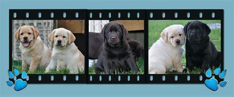 labrador puppies for sale in ct area riorock labrador retriever puppies new east coast colorado puppy for sale