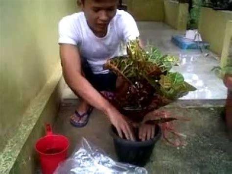Pesona Anthurium Gelombang Cinta peluang usaha tanaman hias gelombang cinta doovi