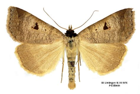Vb Vicker lygephila pastinum insecta lepidoptera noctuidae