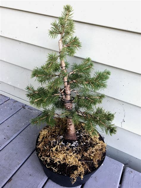 how do you bonsai christmas tree my bonsai it s a alberta spruce that looked like a tree