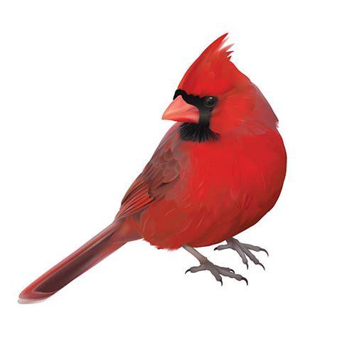 cardinal clip royalty free cardinal clip vector images