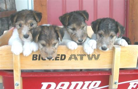 fox terrier puppies for sale near me purebred wire fox terrier puppies for sale find a purebred breeder near you