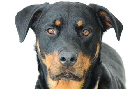 fotos de perros rottweiler perros rottweiler historia cuidados entrenamiento fotos y