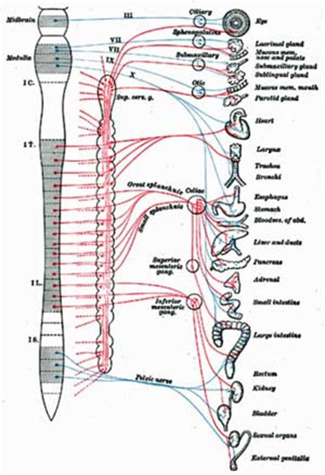 diagram of autonomic nervous system from chronic fatigue to fibromyalgia to pots to