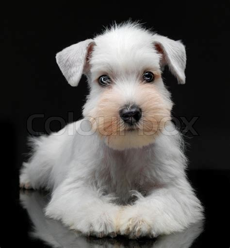 white schnauzer puppies 30 beautiful white schnauzer pictures and images