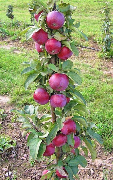 apple jin сорта колоновидных яблонь для подмосковья фото описания