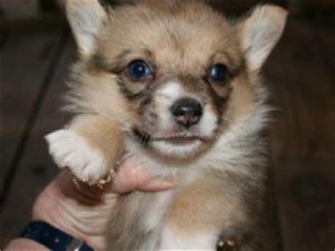 corgi puppies sacramento pembroke corgi puppies in california