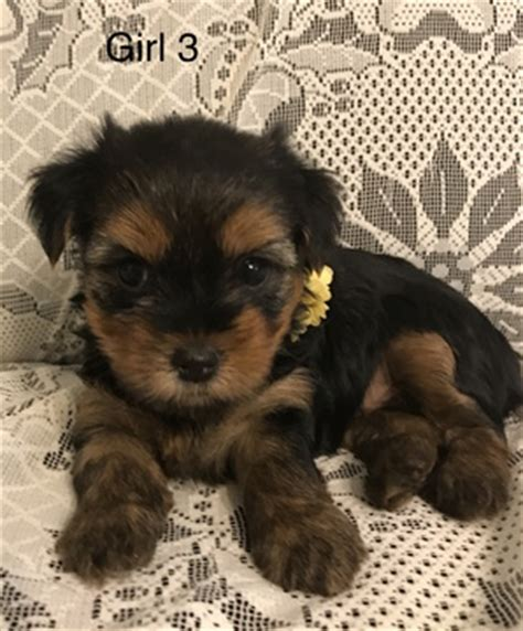 yorkies for sale in new mexico view ad terrier puppy for sale new mexico albuquerque usa
