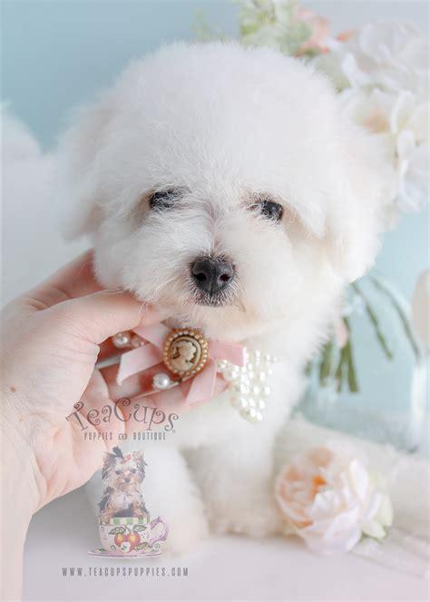 bichon frise puppies florida bichon frise puppies davie teacups puppies boutique