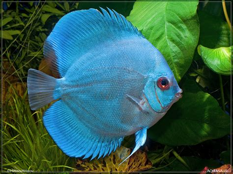 Marine Home Decor by Blue Diamond Discus Freshwater Fish Pinterest