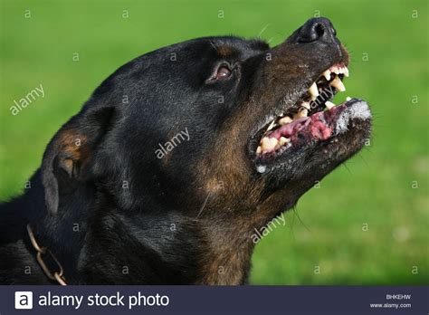 rottweiler teeth rottweiler canis lupus familiaris showing teeth in garden stock photo royalty free