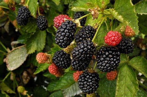 fragoline di bosco in vaso coltivazione frutti di bosco piante da frutto come
