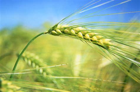 commercio treviso cereali i primi cereali di sapiens le scienze