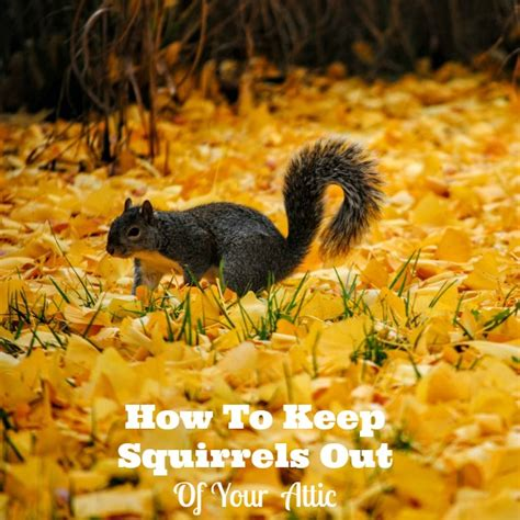 how to get rid of squirrels in the backyard how to get rid of squirrels in attic family focus blog