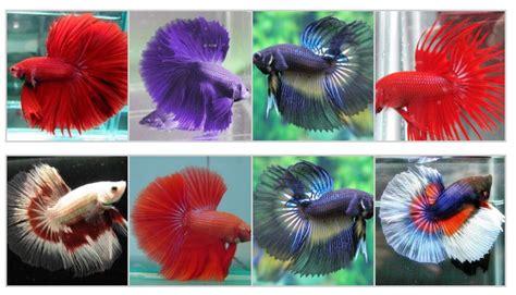 Pakan Ikan Cupang Umur 5 Hari cara merawat ikan cupang dengan mudah
