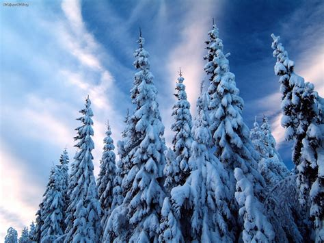 nature snow covered trees varmland sweden picture nr