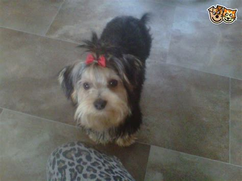 show quality yorkies for sale standard show quality yorkie hereford herefordshire pets4homes