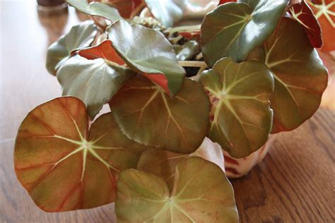 all the dirt on gardening begonia houseplant from a
