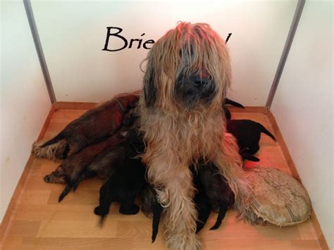 briard puppies for sale briard puppies maidstone kent pets4homes