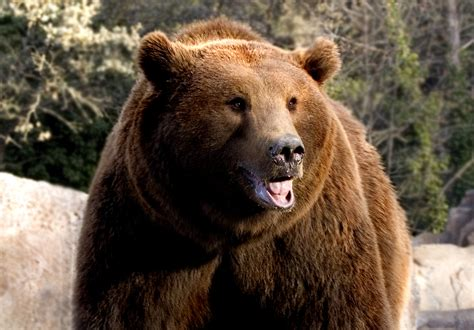 oso pardo oso pardo file oso pardo madrid jpg