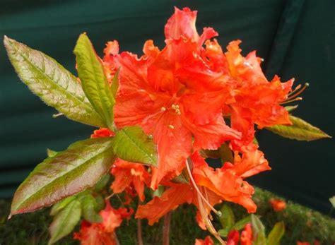 azalea da giardino azalea mollis piante da giardino azalea