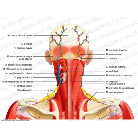 diagram of nerves in neck posterior coronary vessels diagram posterior free engine