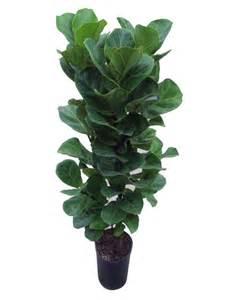 flor de lisboa the hit plant ficus lyrata