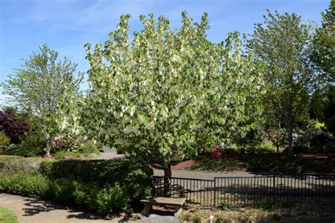 tree doves dove tree davidia the world s best gardening