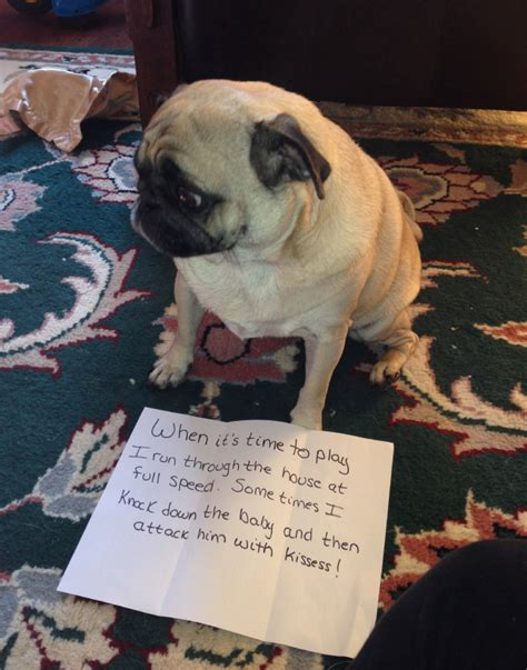 bad pug hilariously misbehaving pugs