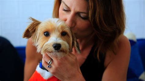 yorkie owners scores of rescued yorkies seized from fetid home enjoying with adoptive owners