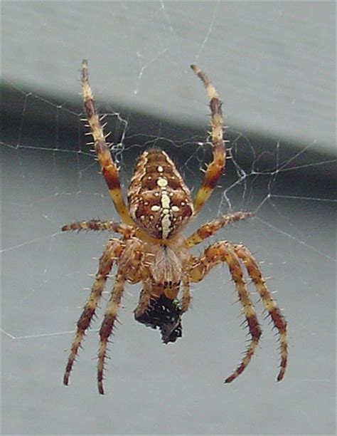 Garden Spider Identification How To Identify Spiders 13 Steps Wikihow