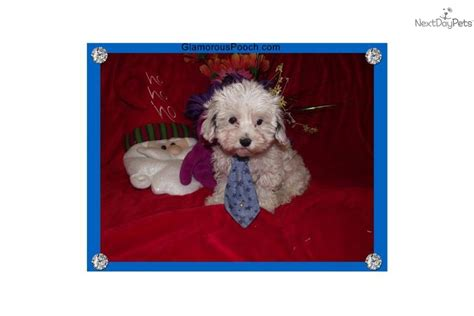 12 week puppy still not potty trained malti poo maltipoo puppy for sale near york pennsylvania 7cab0632 7351