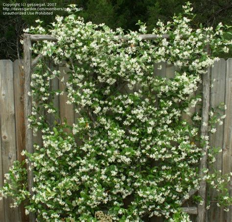 PlantFiles Pictures: Confederate Jasmine, Star Jasmine